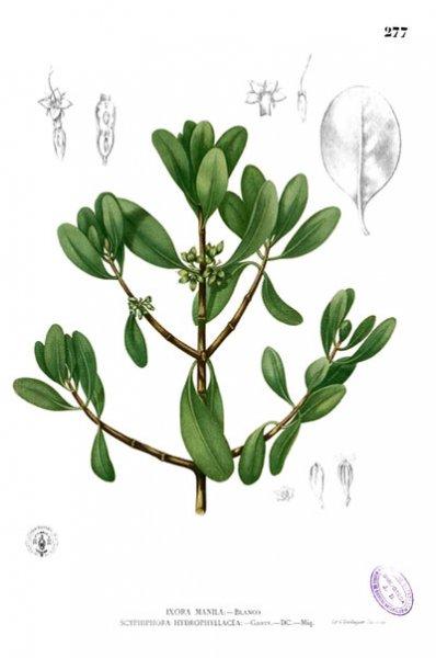 Ang Nila, mula sa Flora de Filipinas ni Padre Manuel Blanco.