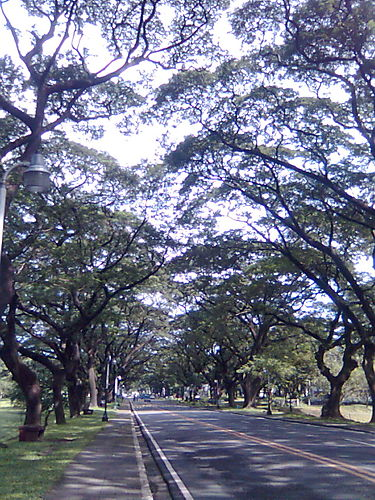 Trees in UP planted by the pioneer students of Diliman.  From gogirlcafe.jennyo.net.